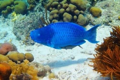 Il pesce pappagallo blu: abitudini e caratteristiche