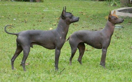 Il Perro pila argentino, una delle razze senza pelo