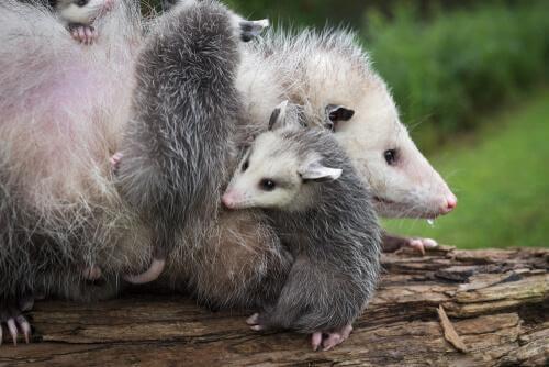 Famiglia di opossum su tronco
