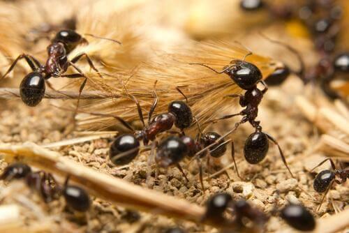 Alcune formiche con spighe di grano