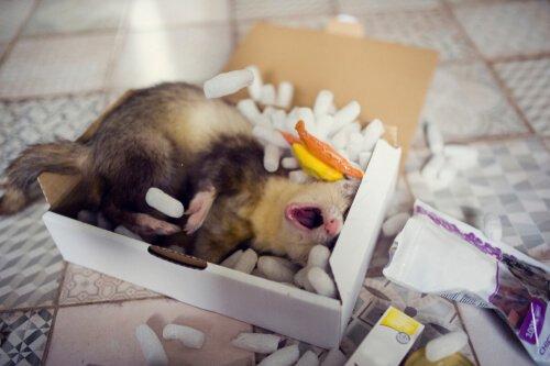 Furetto nella scatola