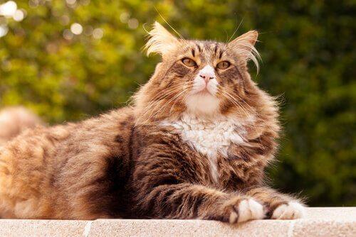 Le 5 razze di gatti più grandi