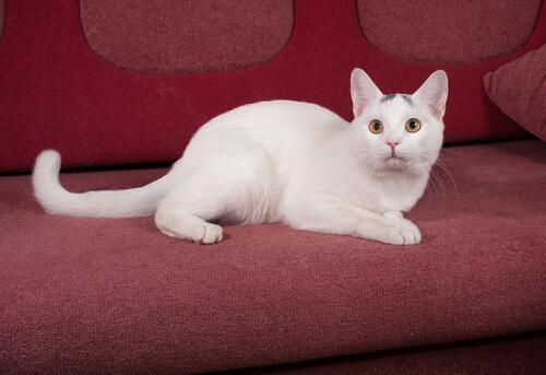 Gatto bianco sul divano rosso