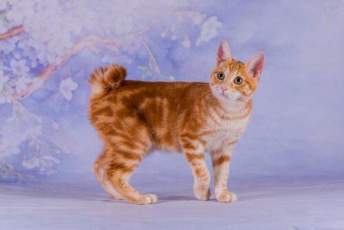Bobtail gatto