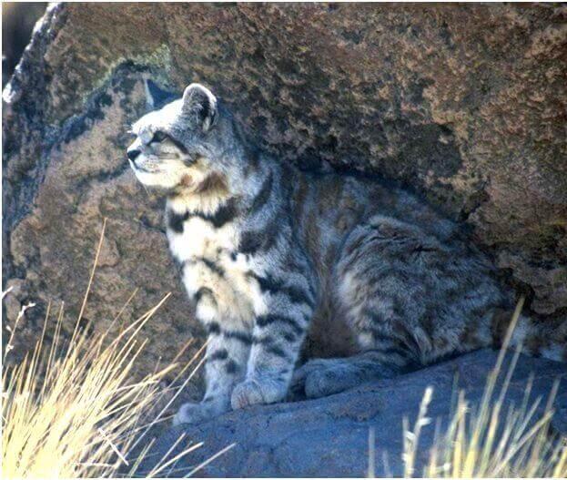 Felini selvatici: il gatto delle Ande