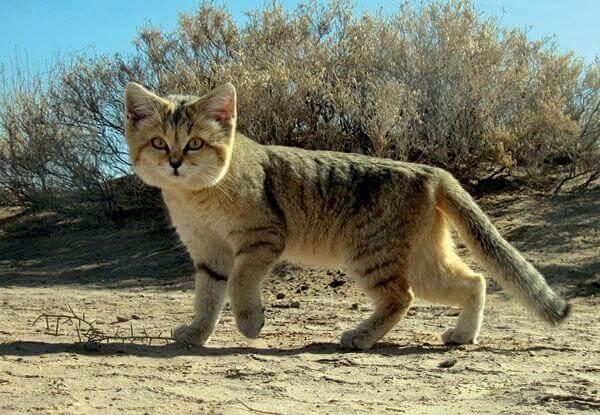 Il gatto delle sabbie