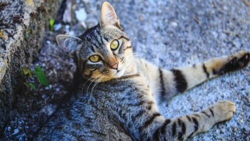 Tutto quello che c'è da sapere sul gatto europeo