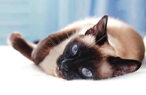 5 razze di gatti asiatici
