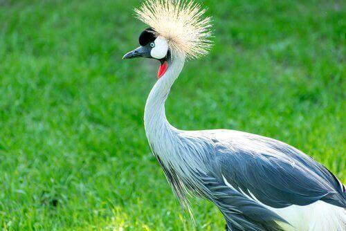 Gru coronata grigia tra uccelli nazionali africani