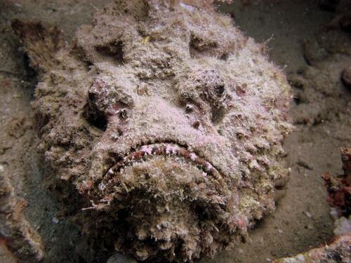 Pesce pietra camuffato