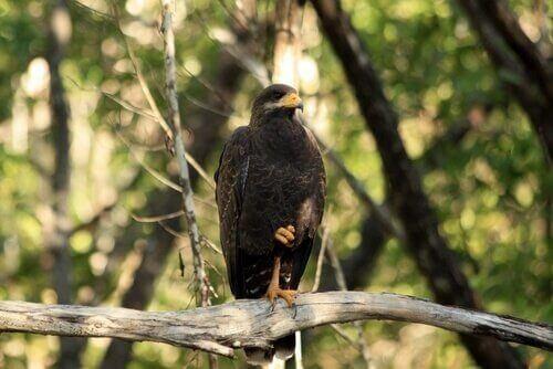 Il falco nero