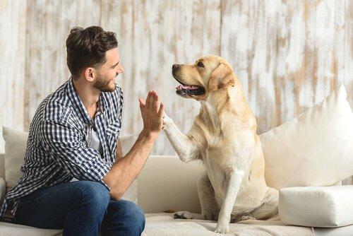 Labrador seduto su divano da il cinque al padrone