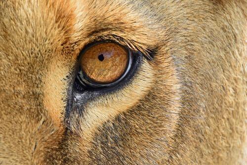 Riportata in Africa una leonessa salvata dal circo