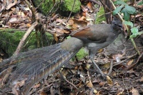 Le sorprendenti abilità dell'uccello lira comune