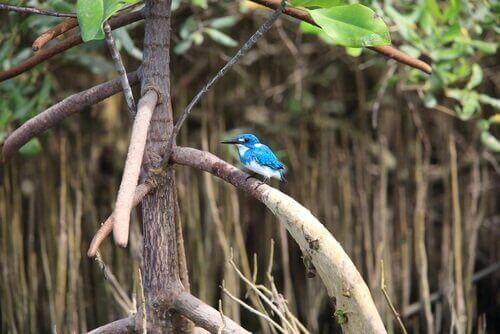 Martin pescatore blu