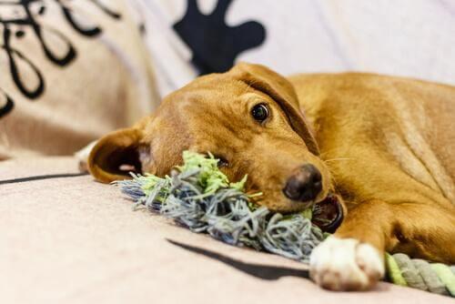 6 passi per creare dei morditori per cani resistenti