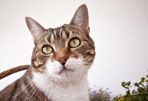 Muso in primo piano del gatto europeo