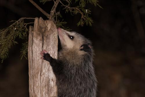 Opossum su albero