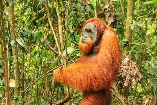 Orangotango tra fauna dell'isola di Sumatra