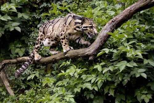 Felini selvatici: leopardo nebuloso