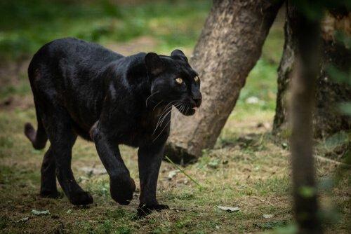 Pantera nera che cammina nella foresta