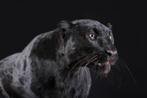 Pantera nera con sfondo nero