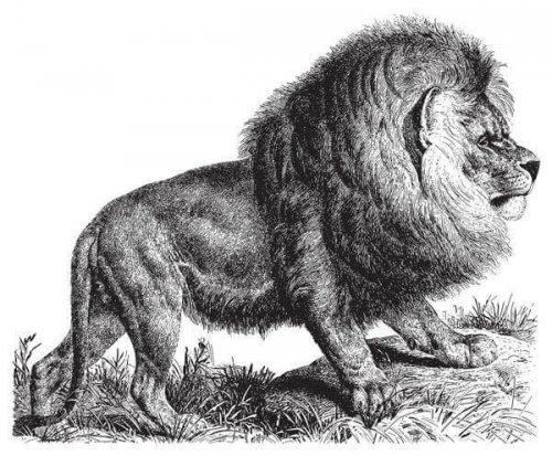Panthera leo melanochaitu disegno
