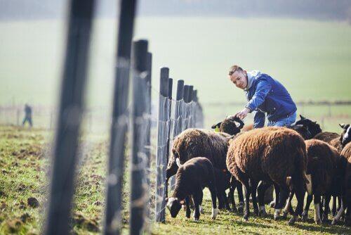 Allevamento di pecore Guirra