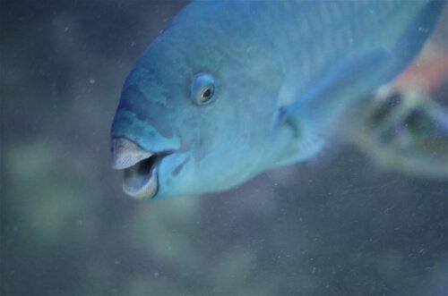 Pesce pappagallo blu