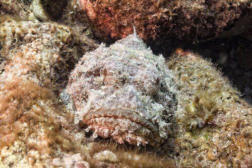 Pesce pietra, l'abitante quasi invisibile delle scogliere