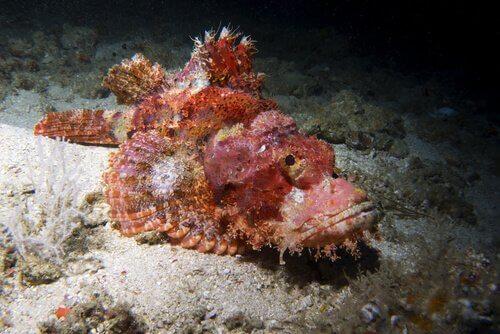 Pesce pietra su masso