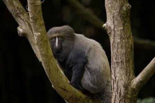 La scimmia con la faccia da gufo: caratteristiche e habitat