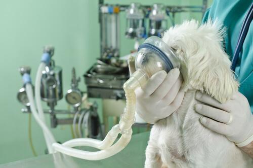 Come affrontare i problemi respiratori dei cani
