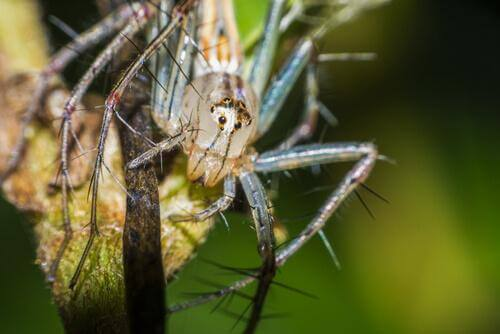 Ragni dalla faccia sorridente: comportamento e habitat