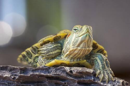 La rinite nelle tartarughe e come trattarla