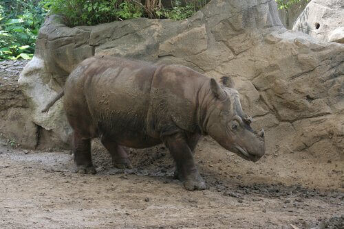 Rinoceronte dell'isola di Sumatra