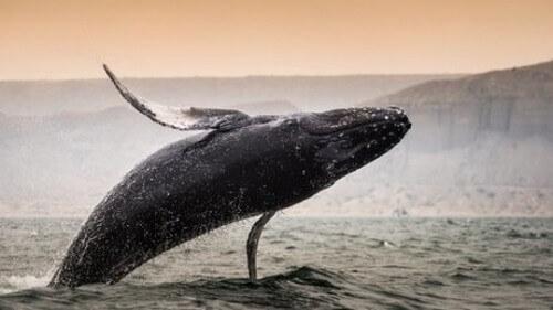 Qual è la balena più grande del mondo?