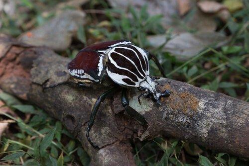 tipi di scarabei