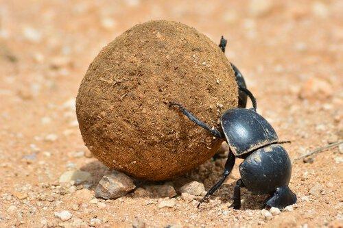scarabeo nero