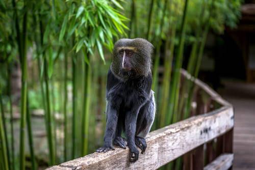 scimmia gufo