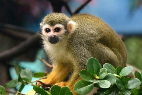 Scimmia scoiattolo su fiori