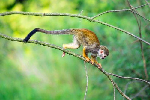 Cucciolo di scimmia scoiattolo