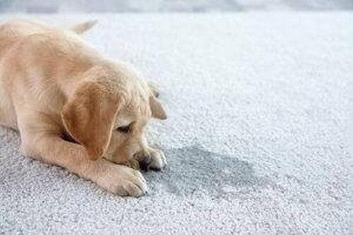 Ecco 3 tipi di tappetini igienici per cani