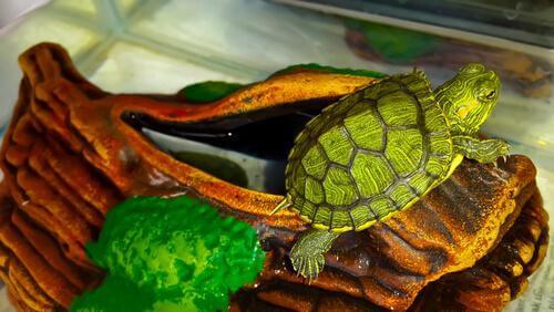 Tartaruga d'acqua sopra tronco