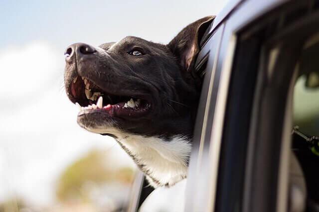 testa di cane fuori dal finestrino della macchina