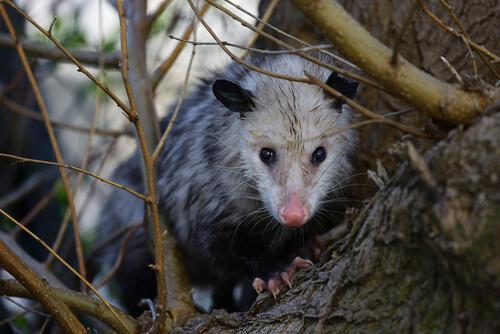 Tutto quello che dovete sapere sull'opossum