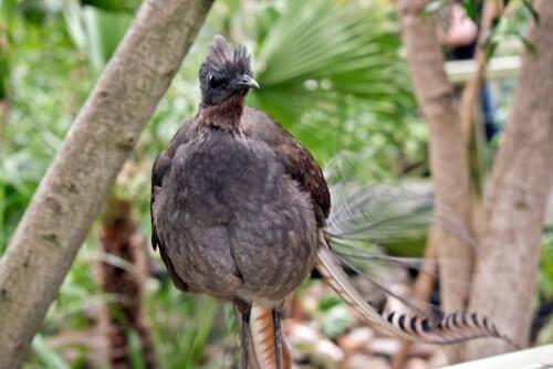 Uccello lira comune tra gli alberi