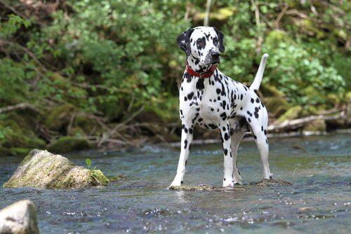 Cane dalmata: una razza molto popolare e famosa