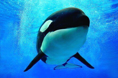Orca assassina