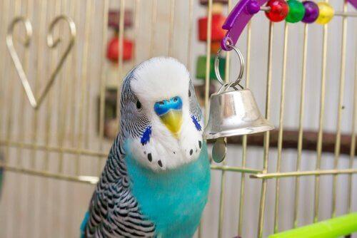 Parrocchetto azzurro tra migliori uccelli da tenere in casa